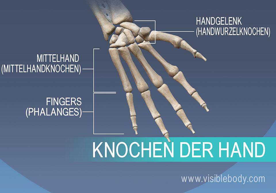 Knochen der Hand, Mittelhandknochen, Grund-, Mittel- und Endglieder