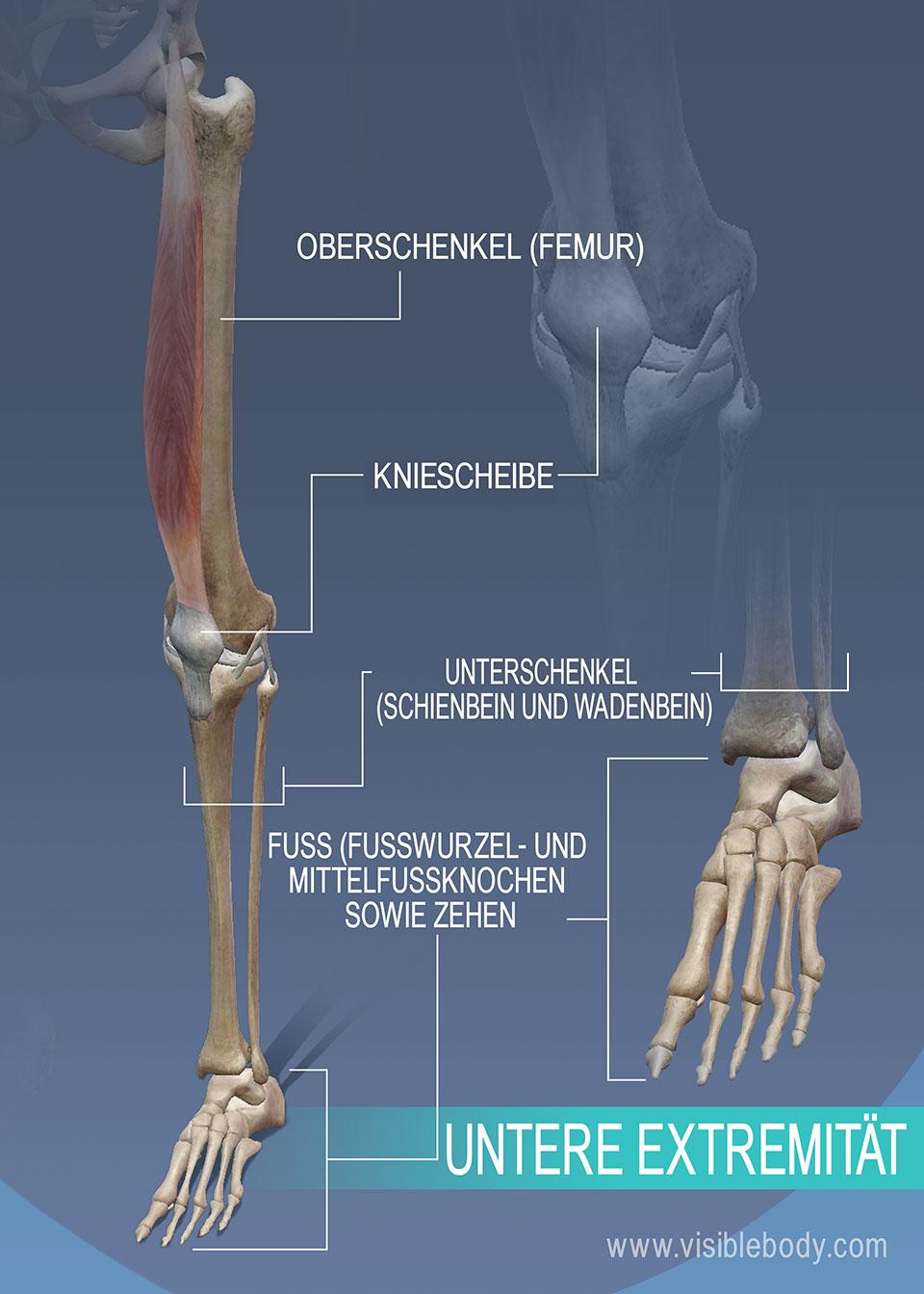 Oberschenkel-, Unterschenkel- und Sprunggelenksknochen der unteren Extremität