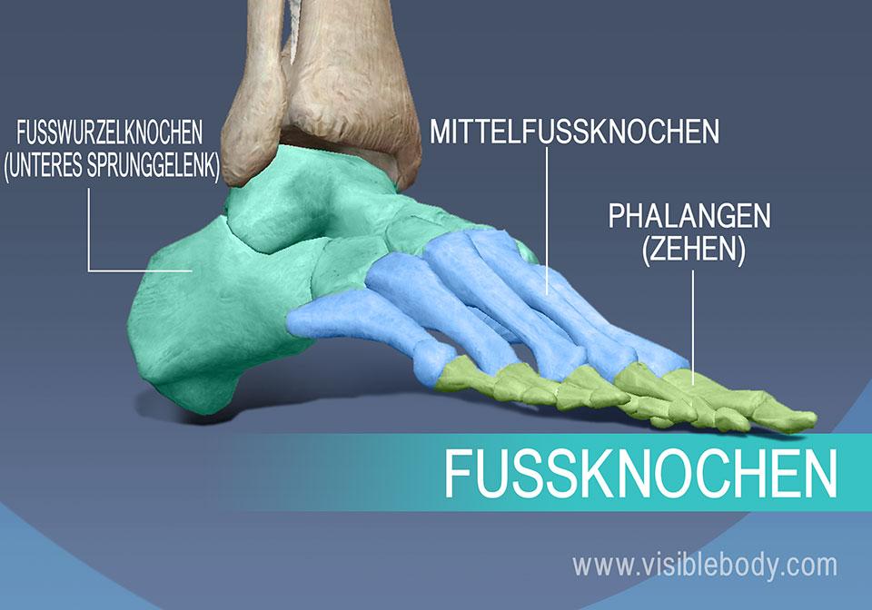 Die Knochen des Fußes, Mittelfußknochen (Metatarsalia) sowie die Grund-, Mittel- und Endglieder der Zehen.