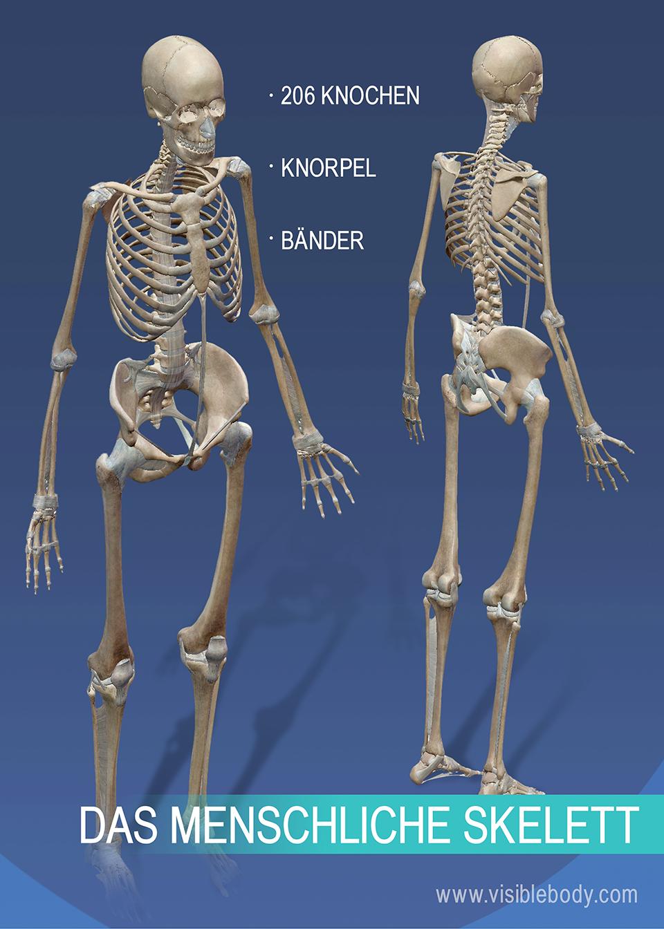 Das Skelettsystem besteht aus 206 Knochen sowie Knorpeln und Bändern