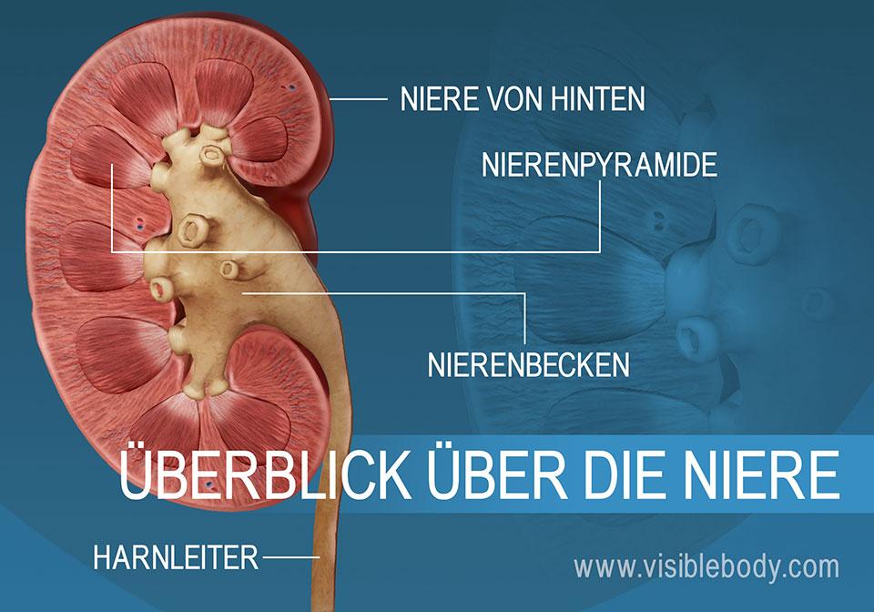 Querschnitt durch die Niere mit den Strukturen des Nierenbeckens und der Pyramiden