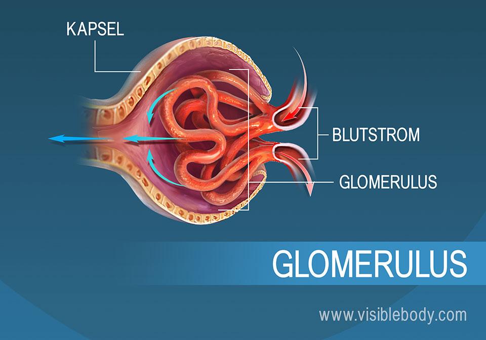 Im Rahmen der Filtration strömt Blut durch den Glomerulus