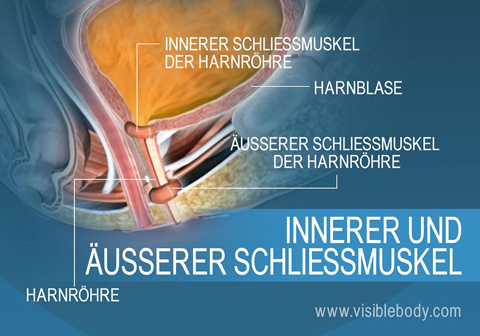 Innerer und äußerer Harnröhrenschließmuskel der Harnblase