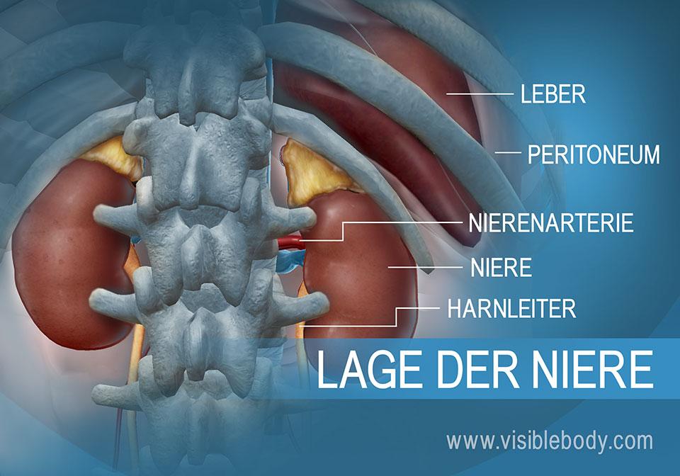 Relative Lage von Nieren und Harnleiter zur Leber in der Bauchhöhle