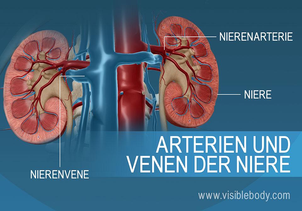Der Blutstrom in die und aus den Nieren erfolgt über die Nierenarterien bzw. Nierenvenen