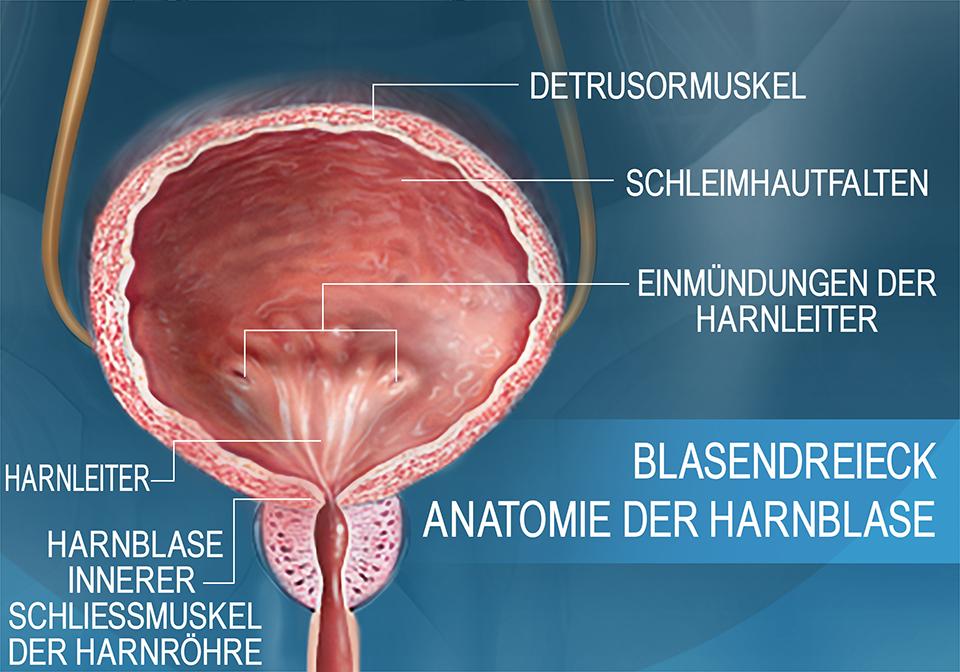 Die Anatomie der Harnblase im Querschnitt