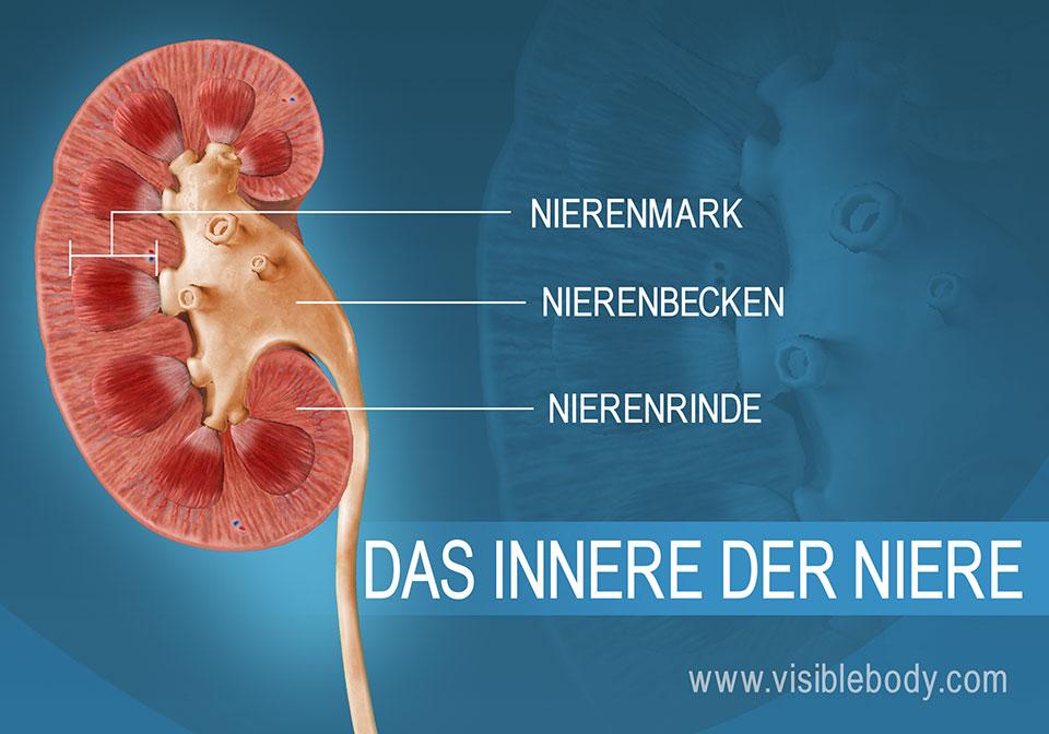 Ein Querschnitt durch die Nieren mit den Nierenpyramiden und dem Nierenmark.