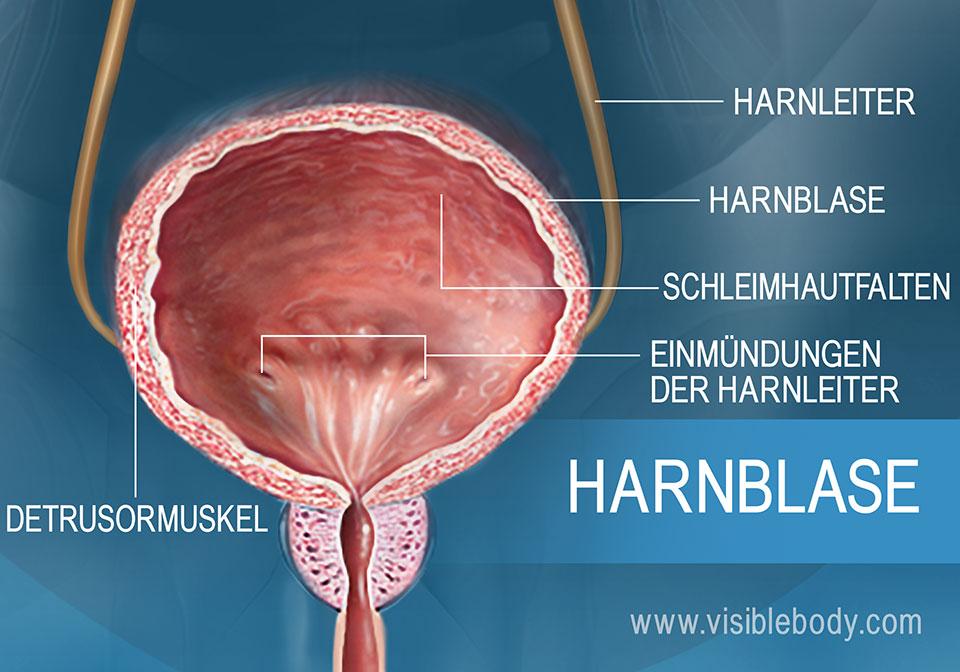 Detaillierte Darstellung des Detrusormuskels und der Schleimhautfalten (Rugae), zweier Harnblasenstrukturen.