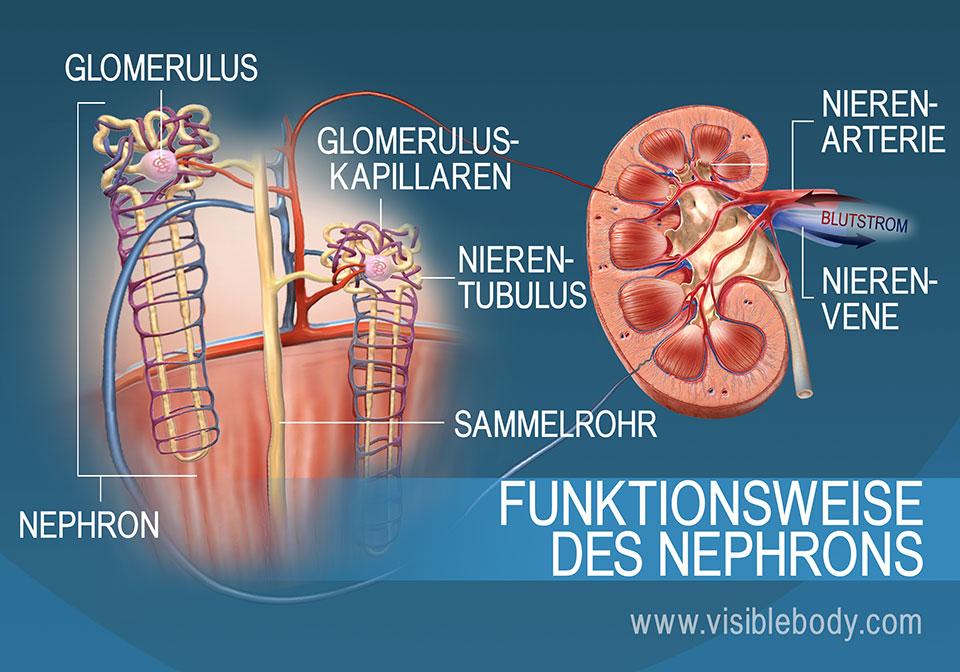 Die Anatomie und Funktion des Nephrons mit den Nephronröhrchen, Nierenpyramiden und der Nierenrinde