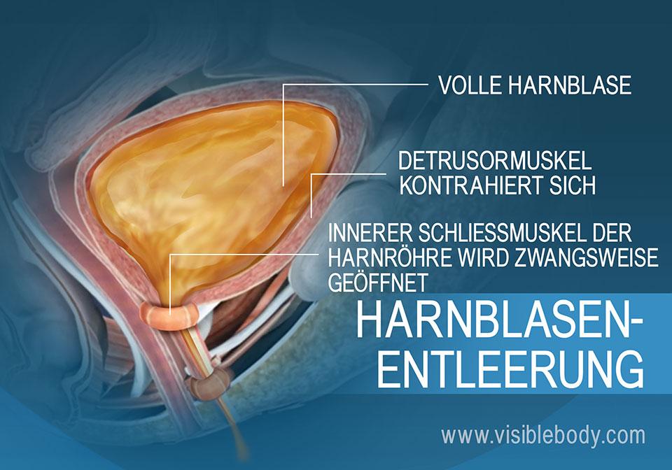 Eine volle Harnblase und die für den Harndrang verantwortlichen Muskeln der Blasenentleerung.