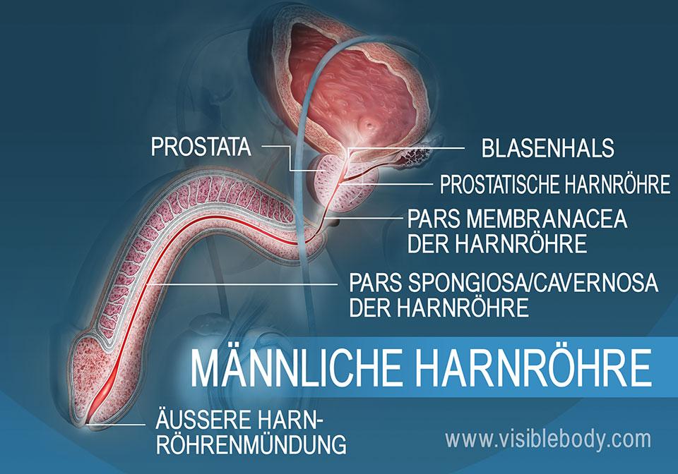 Querschnitt durch die männliche Harnröhre mit ihren drei Abschnitten