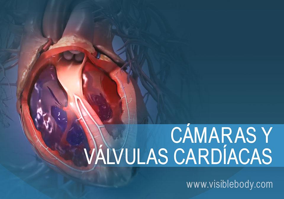 Sangre que fluye a través de las cámaras y las válvulas del corazón