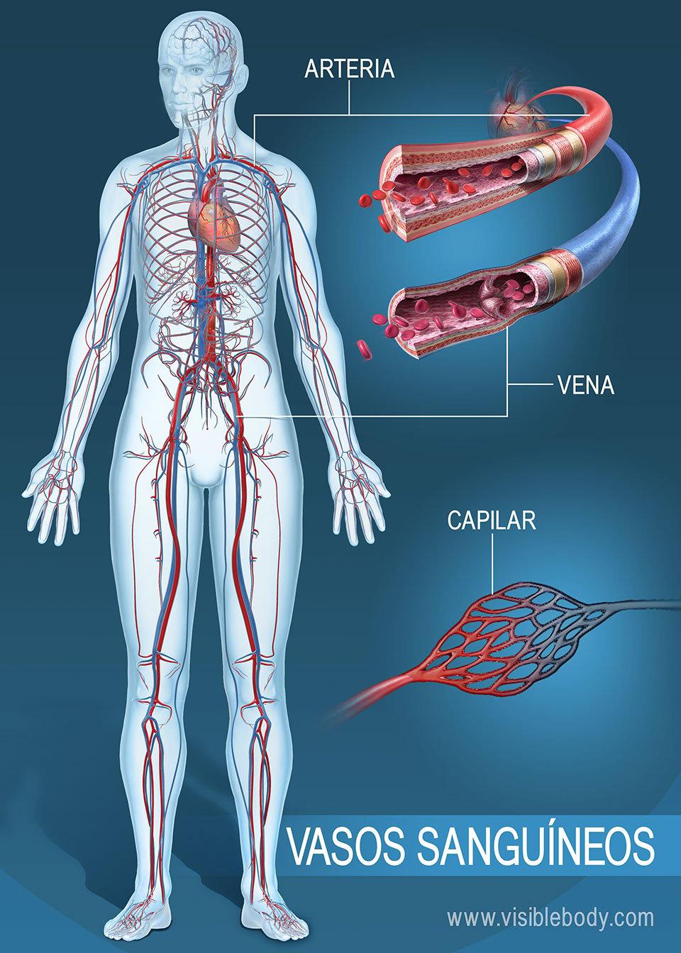 Vasos sanguíneos del cuerpo humano