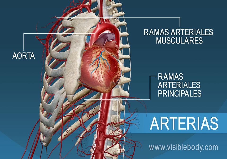 Las arterias principales y ramas del cuerpo