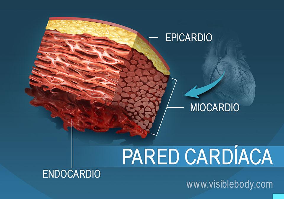 Corte transversal de la pared cardíaca