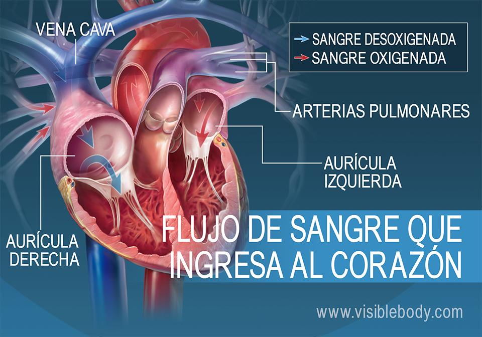 Las aurículas bombean sangre dentro del corazón