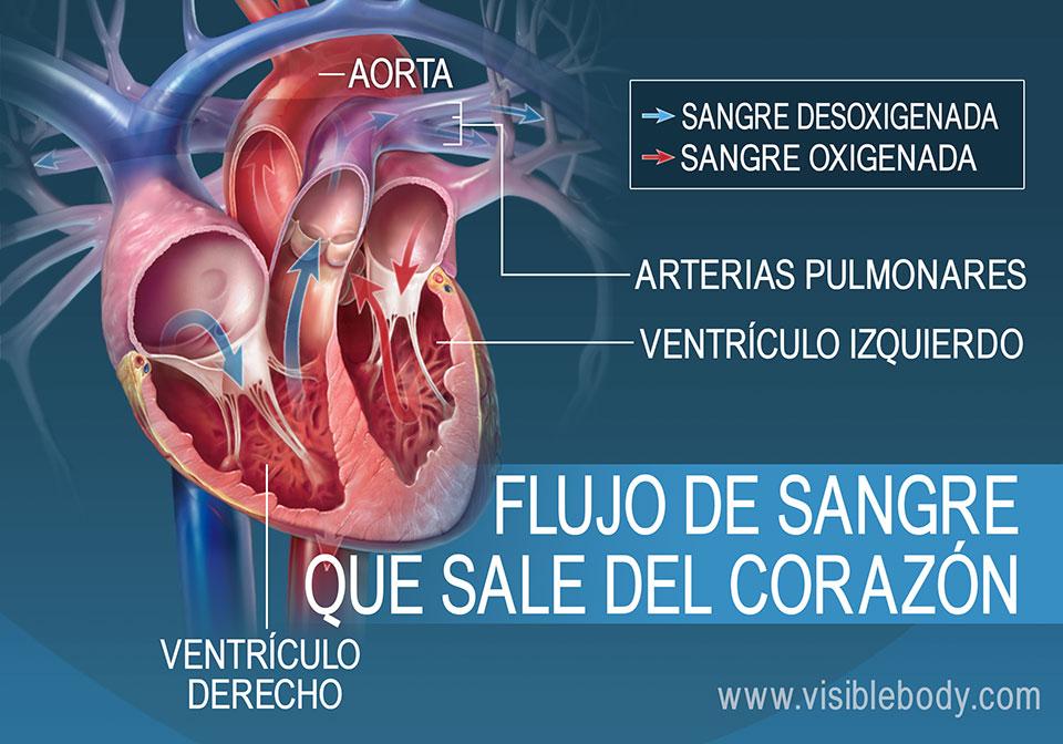 Los ventrículos izquierdo y derecho bombean sangre hacia afuera del corazón