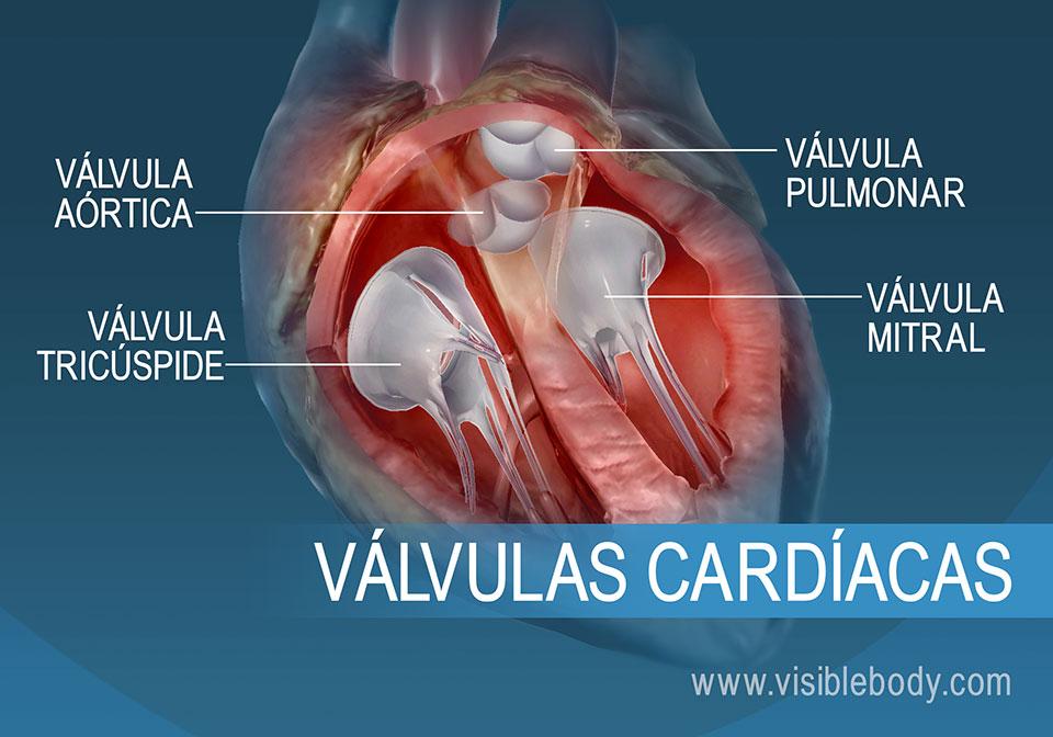Las 4 válvulas del corazón humano