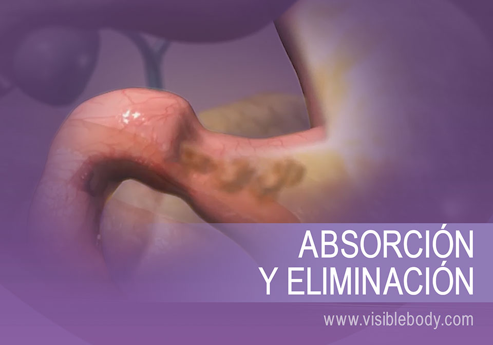 Las funciones de la mitad inferior del sistema digestivo incluyen la absorción y la creación de desechos