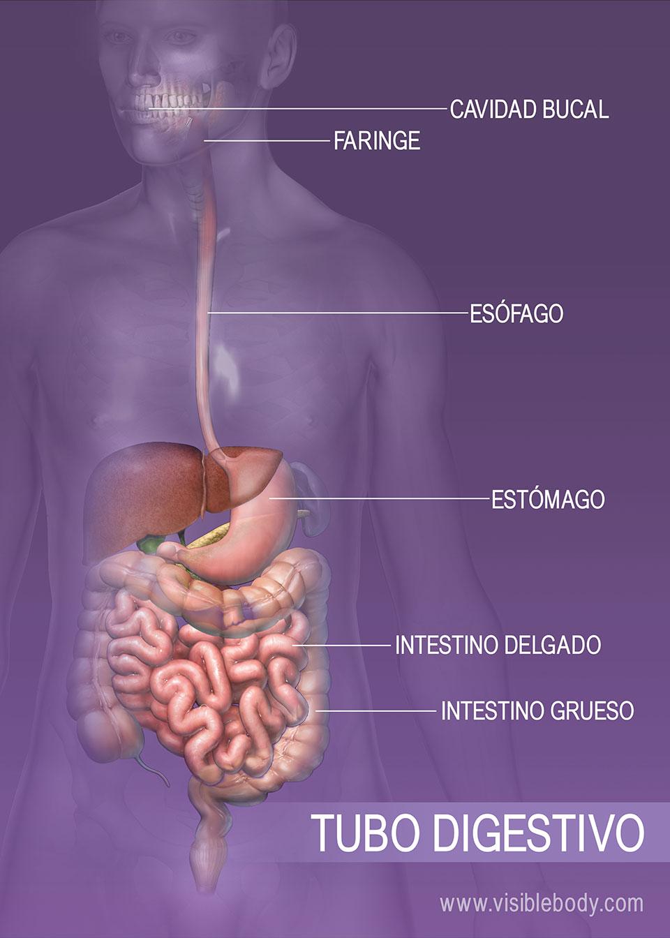 Reseña general del sistema digestivo