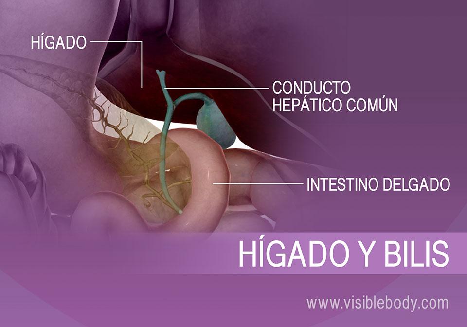 Secreción de bilis de la vesícula biliar