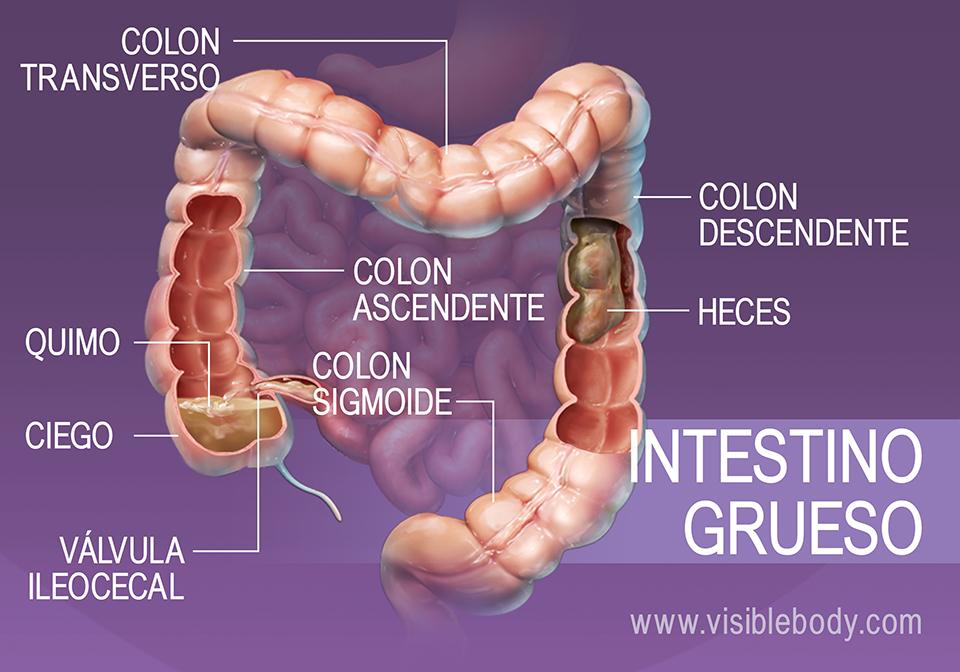 Alimentos y agua que se desplazan por el intestino grueso