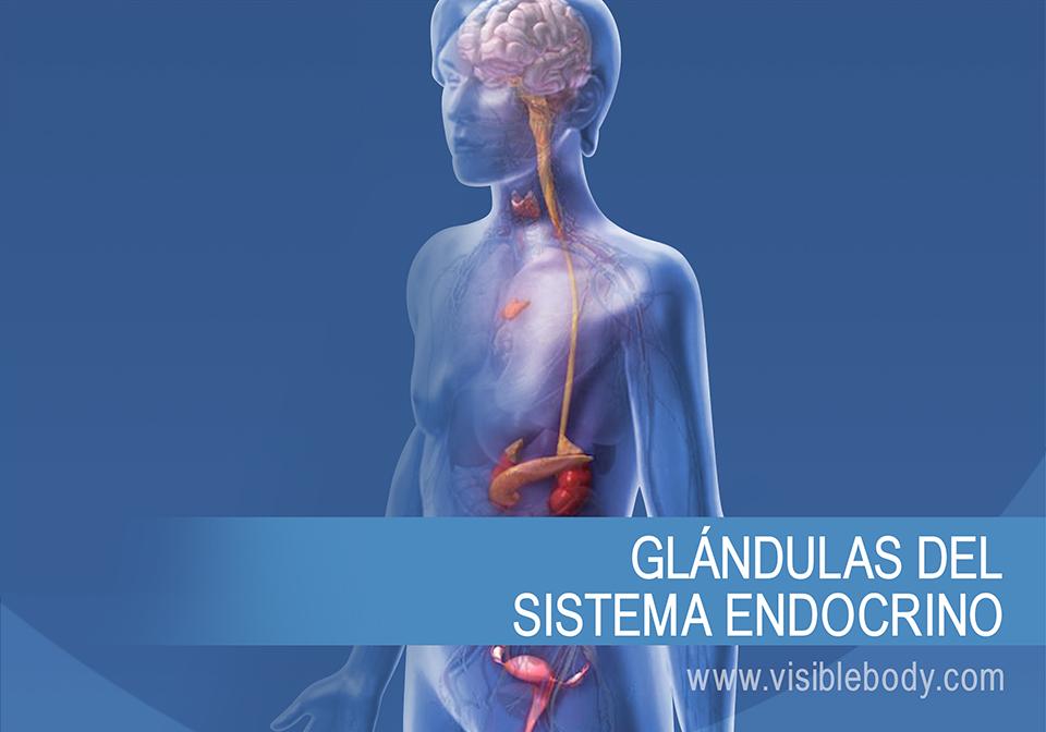 Glándulas endocrinas y cómo funcionan