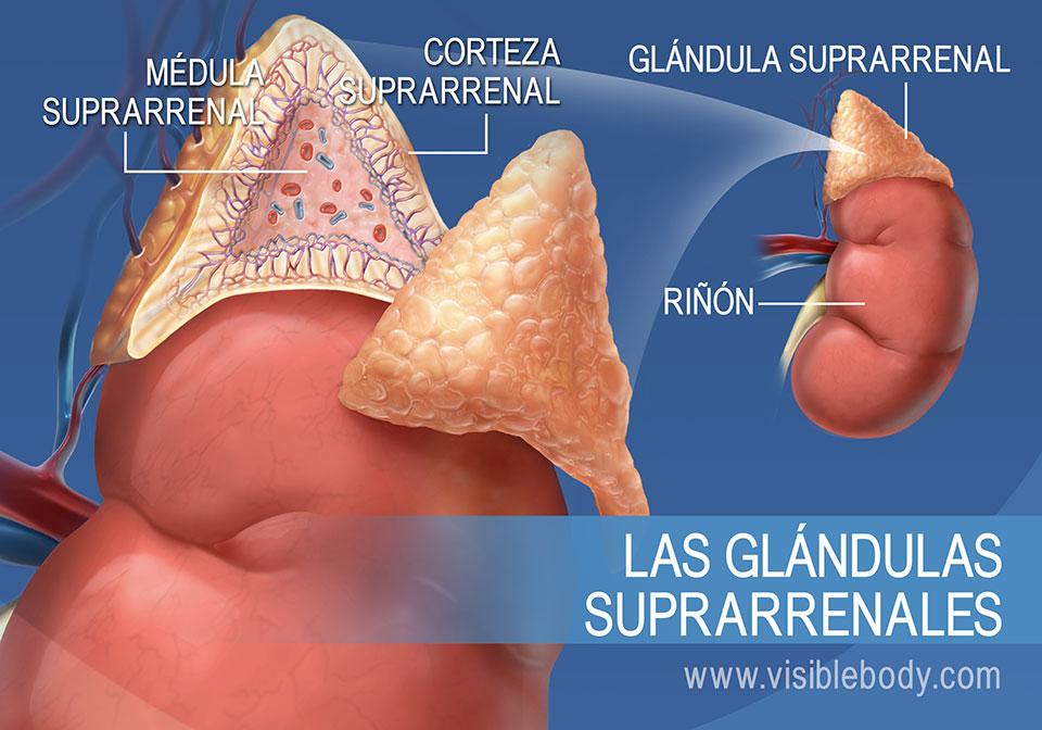 Diagrama de las glándulas suprarrenales, que muestra la médula suprarrenal, la corteza suprarrenal y el riñón