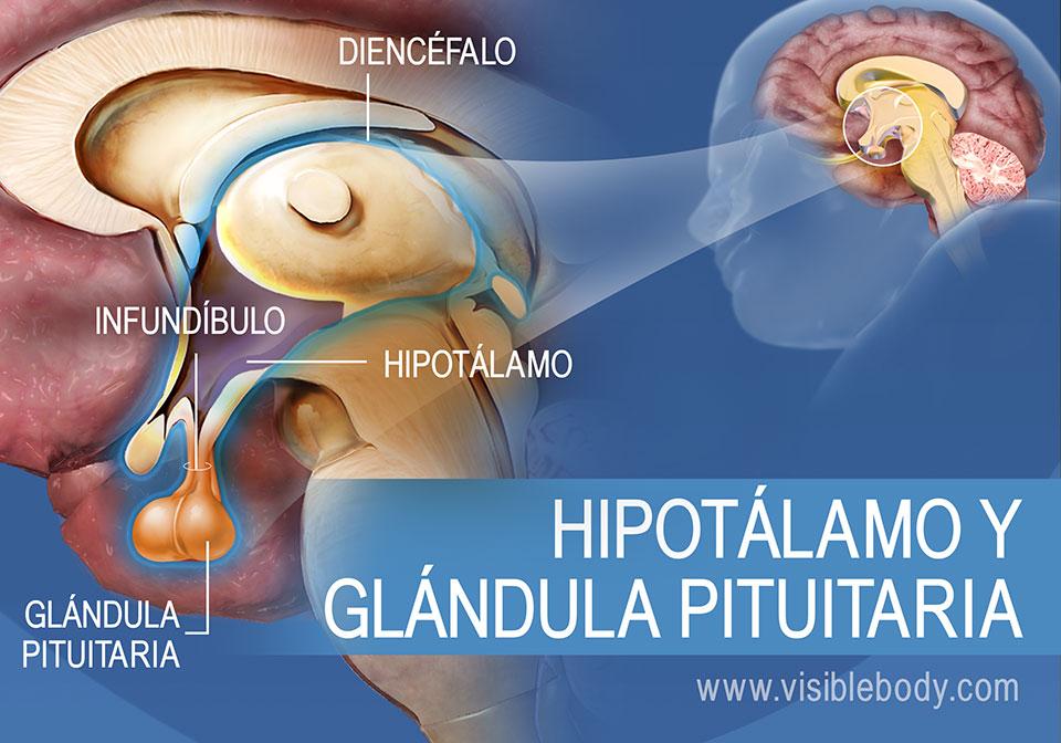 Diagrama del hipotálamo y la glándula pituitaria, con el infundíbulo y el diencéfalo