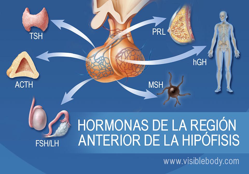 Diagrama de la glándula pituitaria y hormonas de la región anterior de la misma