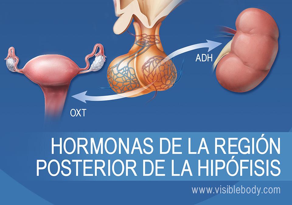 Diagrama de la glándula pituitaria y hormonas de la región posterior de la misma