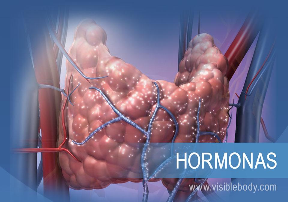 Cómo regula el sistema endocrino las funciones del cuerpo