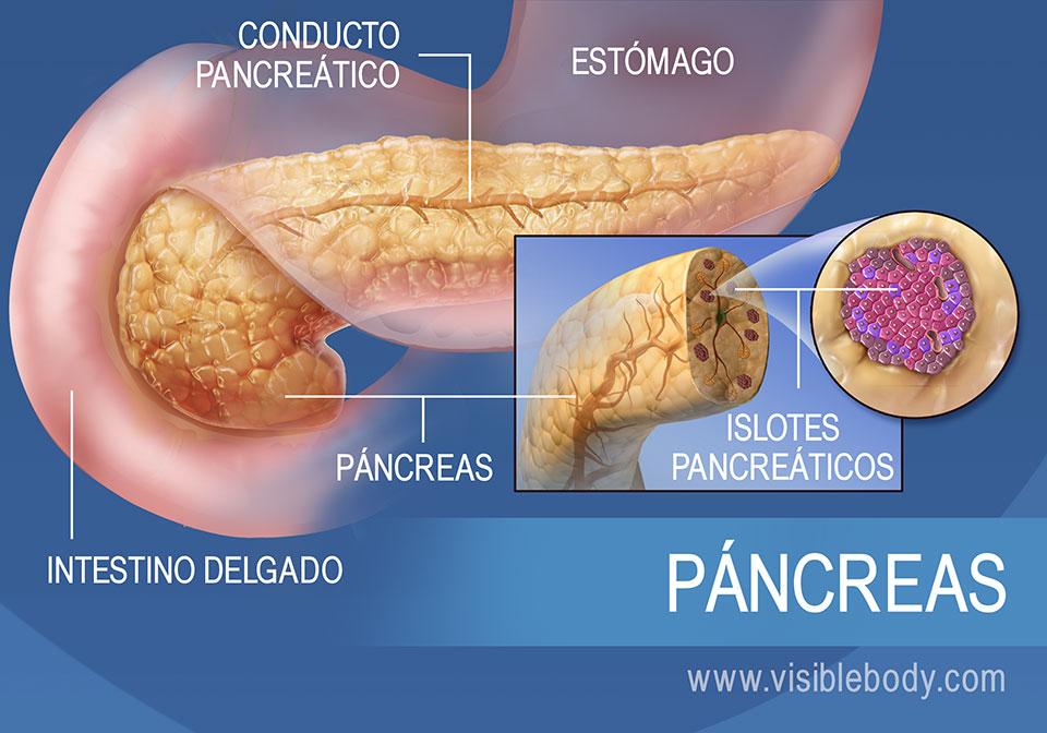 Diagrama del páncreas, que muestra el conducto pancreático, los islotes pancreáticos, el estómago y el intestino delgado