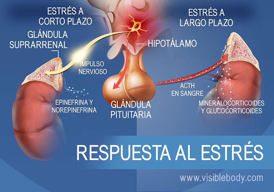 Diagrama de las hormonas que participan en la respuesta al estrés a corto plazo y a largo plazo, que muestra el hipotálamo, la hipófisis y las glándulas suprarrenales