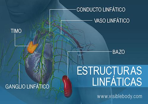 02B-Estructuras-linfáticas
