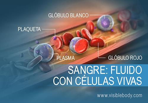 Composición y función de la sangre en el cuerpo humano
