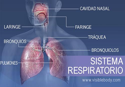 Las principales estructuras del sistema respiratorio incluyen la cavidad nasal, la faringe, la laringe, la tráquea, los bronquios, los pulmones y los bronquiolos