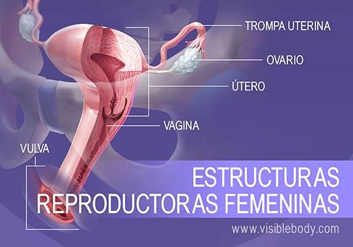 Visión general de las estructuras reproductoras femeninas