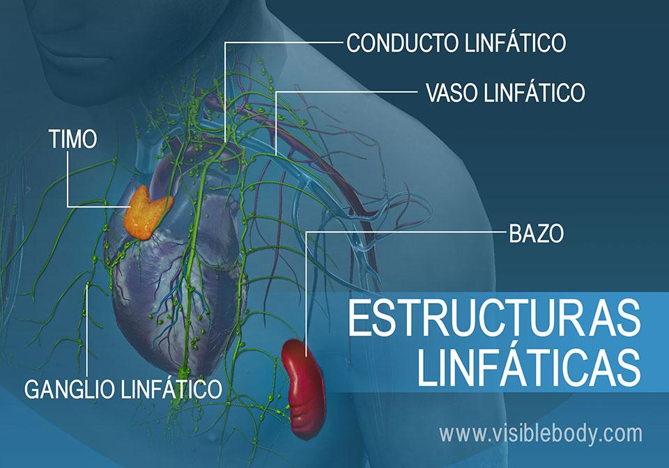 Las estructuras linfáticas incluyen el timo, los ganglios linfáticos, los vasos y el bazo