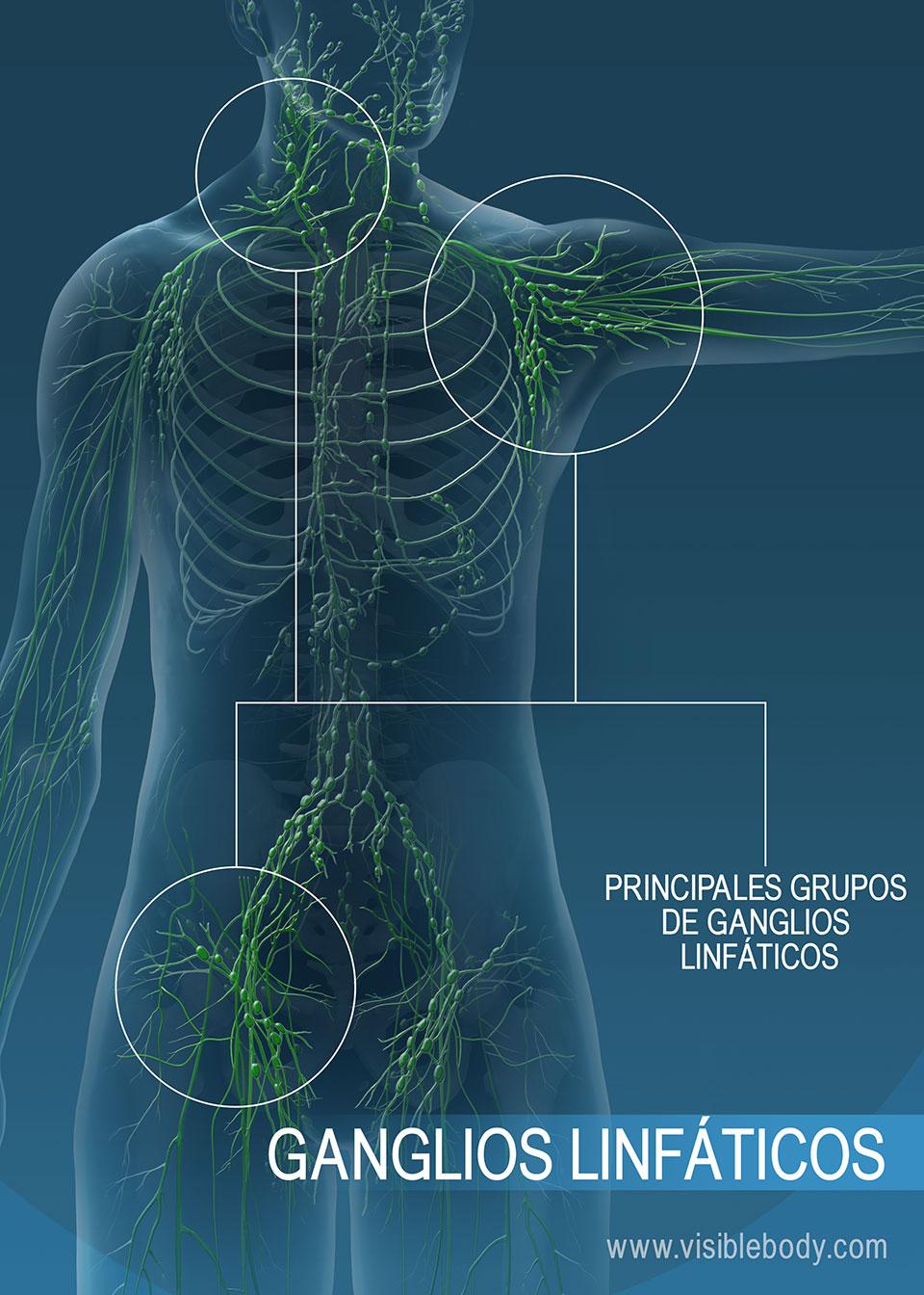 Los ganglios linfáticos ayudan a filtrar sustancias indeseadas de la linfa.