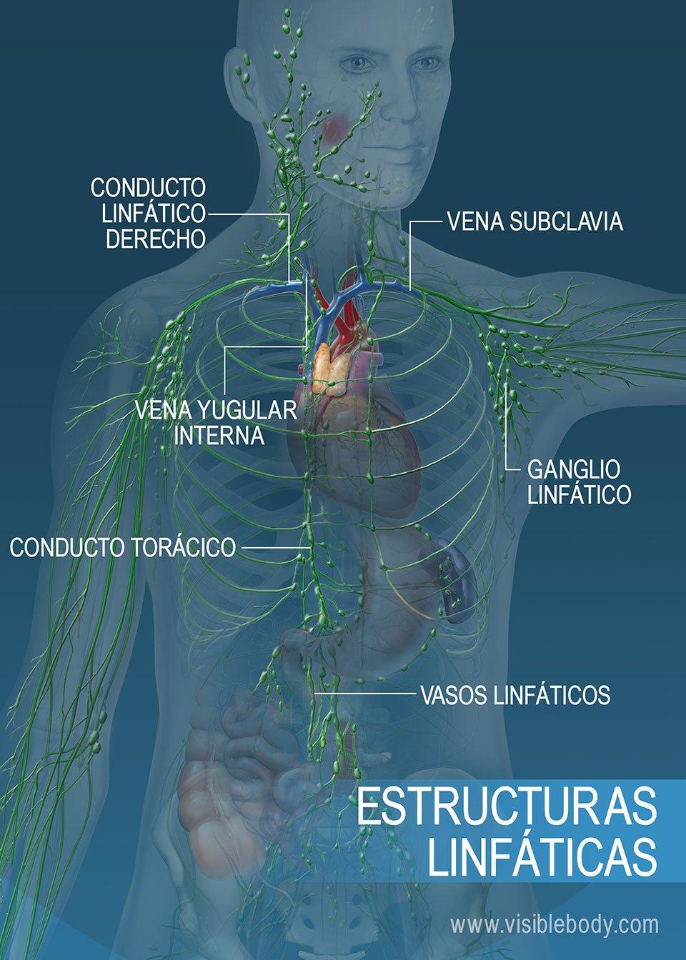 Red de vasos linfáticos en el torso y los brazos. Las estructuras principales incluyen el conducto torácico, el conducto linfático derecho y los vasos linfáticos.
