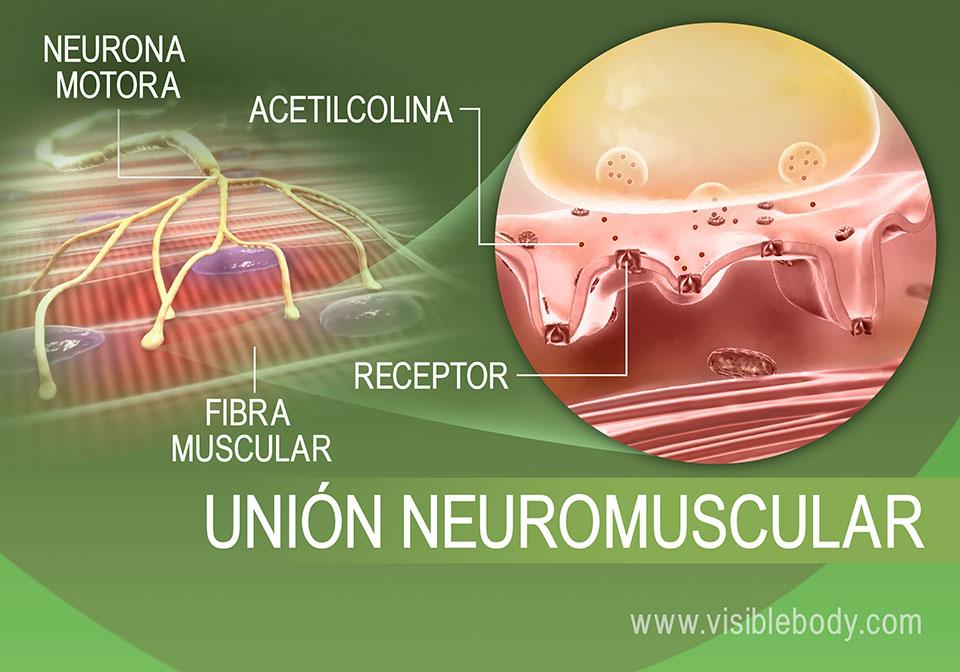 Proceso de inervación muscular