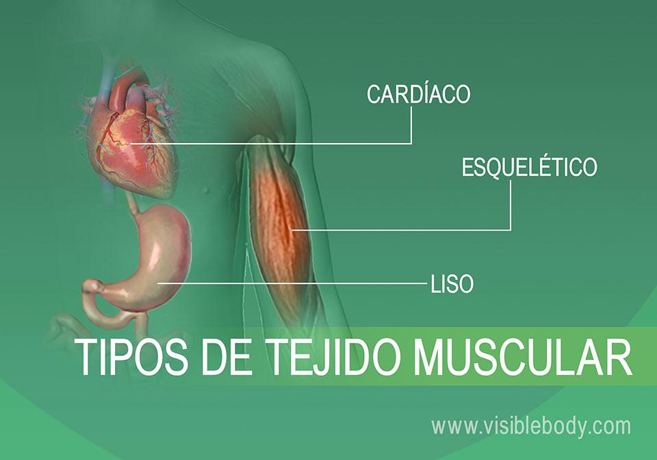 2B-Tipos de tejido muscular