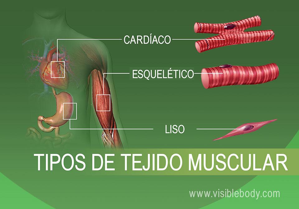 Músculo cardíaco, esquelético y liso en el cuerpo humano