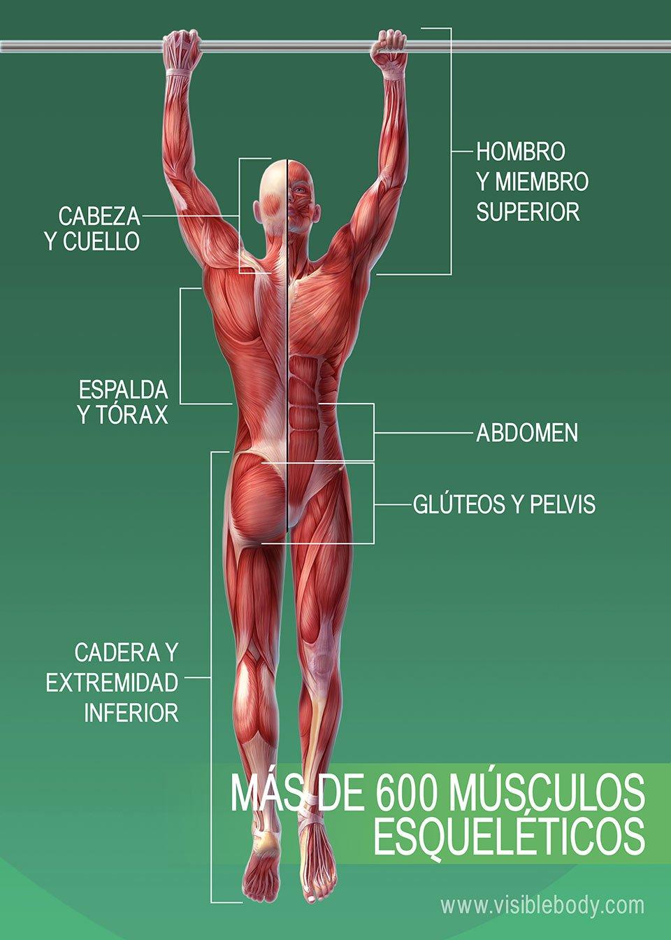 Músculos del cuerpo humano; más de 600 músculos esqueléticos