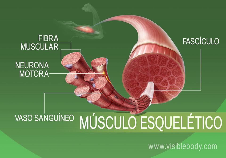 Vista expandida del tejido muscular esquelético