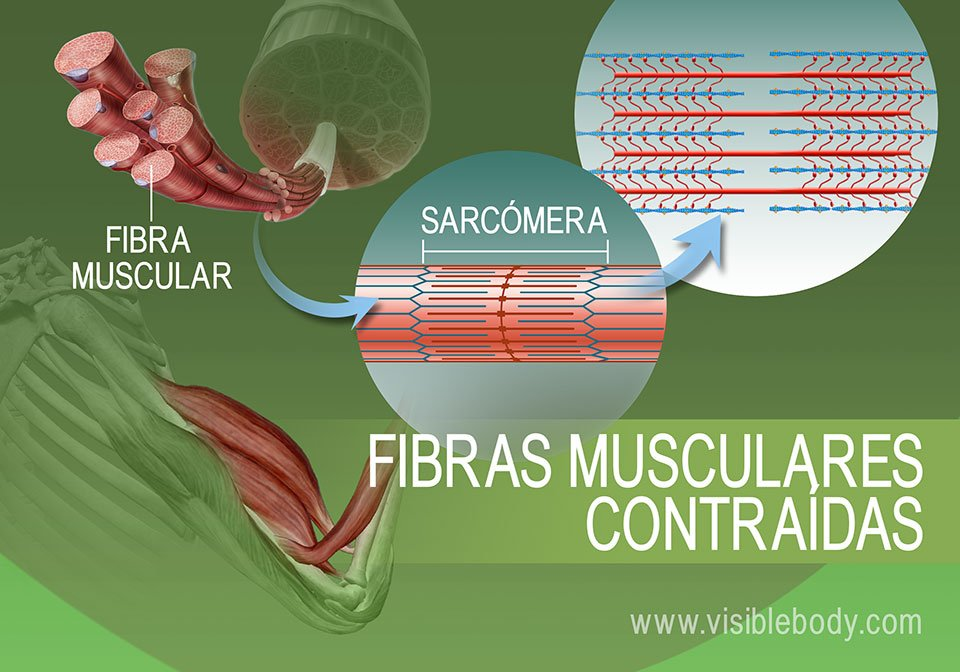 Estado de contracción de las sarcómeras
