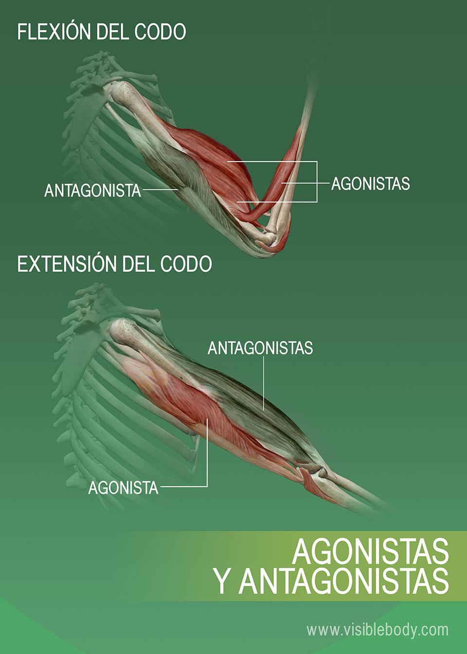 Agonistas, antagonistas y sinérgicos de los músculos