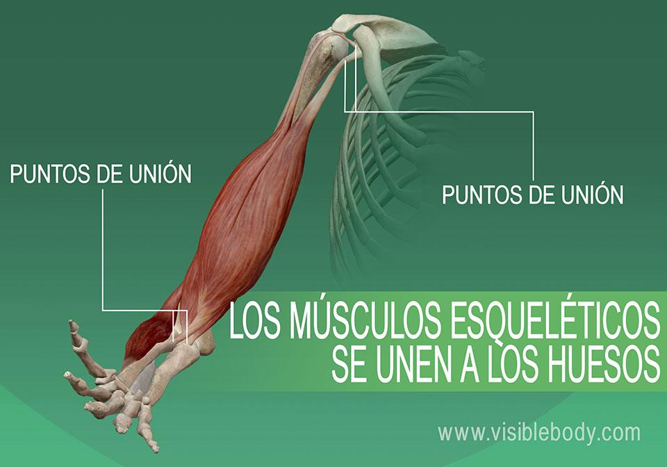 5B-Los músculos esqueléticos se unen a los huesos