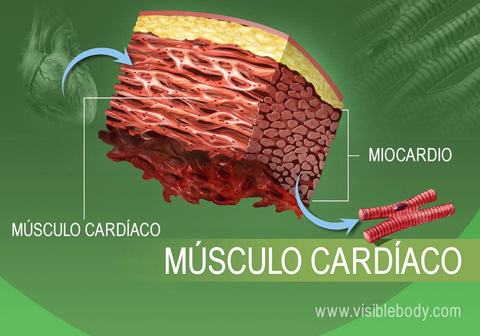 Primer plano del tejido muscular cardíaco en el cuerpo humano